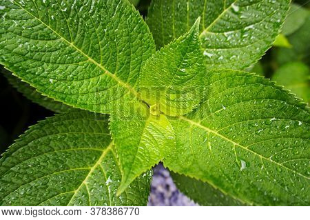 Close-up Of Bright Green Leaves Of The Hydrangea Bush With Droplets Of Water On The Leaves