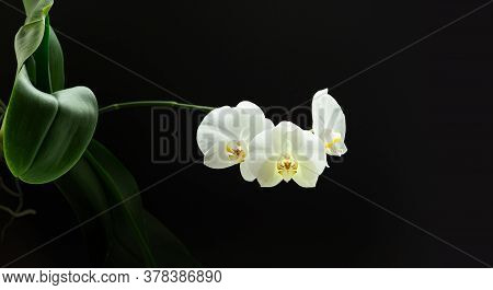 White Phalaenopsis Flowers On Branch With Leafs On Black Background. Banner