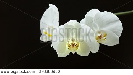 White Phalaenopsis Flowers On Branch On Black Background. Close Up. Selective Focus. Banner
