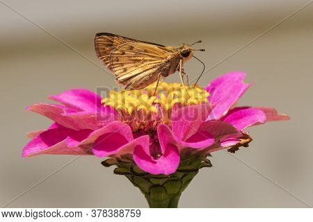 A Moth Gathers A Meal Of Nectar From A Zinnia