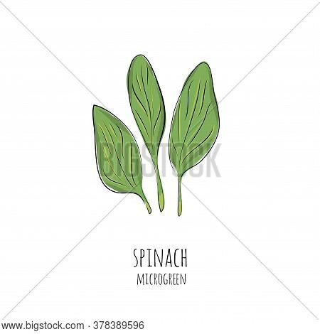 Hand Drawn Spinach Micro Greens. Vector Illustration In Sketch Style Isolated On White Background.