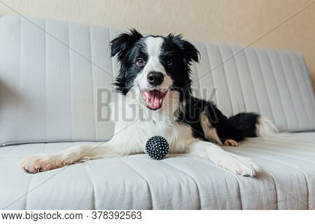 Funny Portrait Of Cute Smiling Puppy Dog Border Collie Playing With Toy Ball On Couch Indoors. New L
