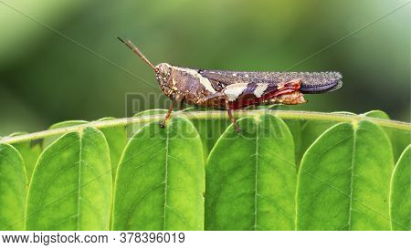 colorful grasshopper on a leaf. photo macro of this small insect with faceted eyes, long antennas and strong posterior legs for jump, nature scene in the tropical island of Koh Tao, Thailand.