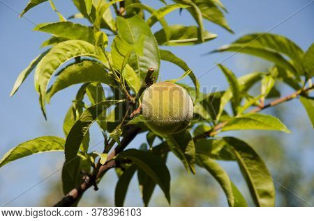 Peach Fruit On Tree. Summer Seasonal Harvest. Full Of Vitamin. Only Organic And Natural. Fresh Peach