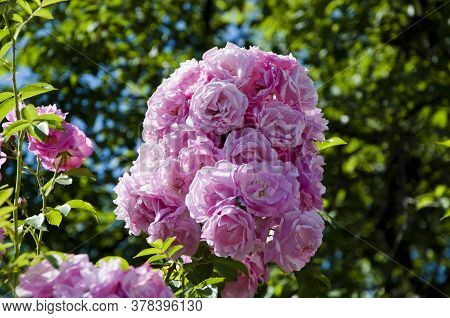 Coral Rose Flower. Bouquet Of Pink Roses On Garden Background. Mothers Day, Valentines Day, Birthday