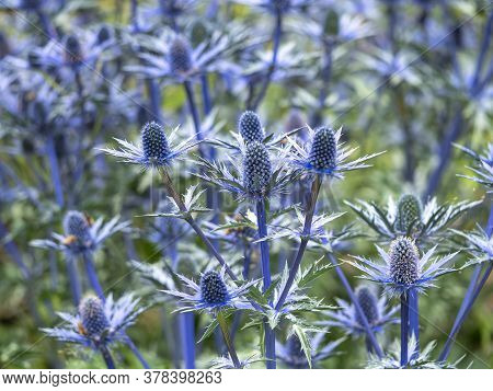 Flowers And Bracts Of Sea Holly, Eryngium X Zabelii Variety Big Blue