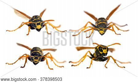 Set Of  Four European Wasp German Wasp Or German Yellowjacket Isolateed On White Background In Latin