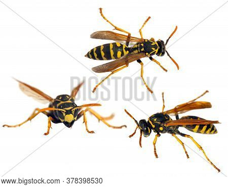 Set Of  Three European Wasp German Wasp Or German Yellow Jacket Isolated On White Background In Lati