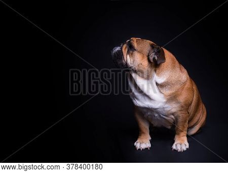 Red English Bulldog At The Door Of The House.