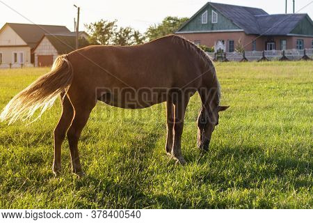Grazing Brown Horse On The Green Field. Horse Grazing Tethered In A Field. Horse Eating Green Grass.
