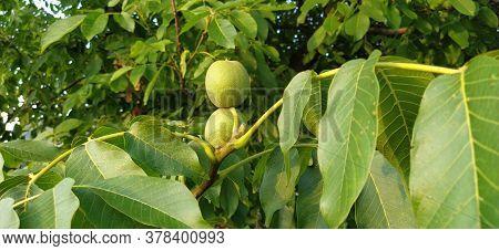 Ripening Walnuts On A Branch. Two Nuts In Green Skin. Walnut Tree. Harvest