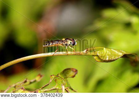 Hover Fly (sphaerophoria Scripta) Standing On A Plant Stem