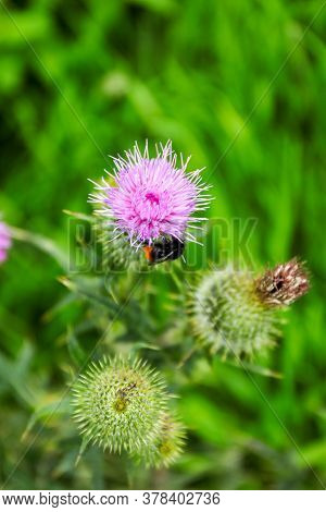 Large Red-tailed Bumble Bee (bombus Lapidarius) Drinking Nectar From A Flower Of Bull Thistle (cirsi