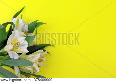 Blooming Freesia Isolated On Yellow Background. House Flowers And Plants. Postcard. Copy Space. Plac