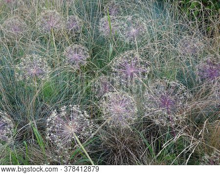 Delicate Lilac Green Background Of Ornamental Onion And Grass Inflorescences