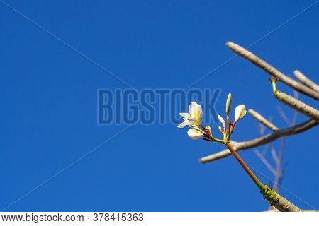 Frangipani Flower Are Blooming On A Tree In The Garden With Blue Sky Background. Space For Text.