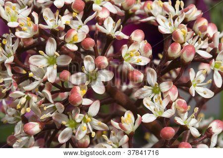 Skimmia Japonica 'rubella'