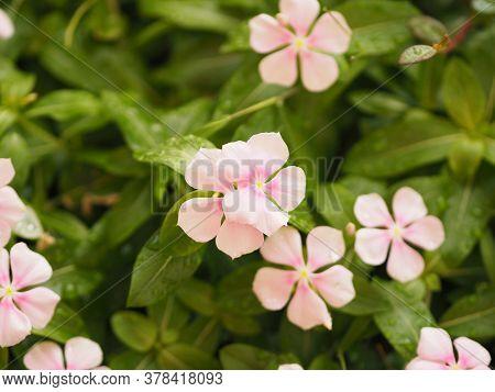 Pink Color Flower Cayenne Jasmine ,periwinkle, Catharanthus Rosea, Madagascar Periwinkle, Vinca, Apo