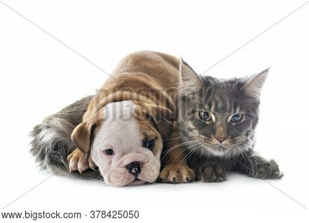 Puppy English Bulldog And Cat In Front Of White Background