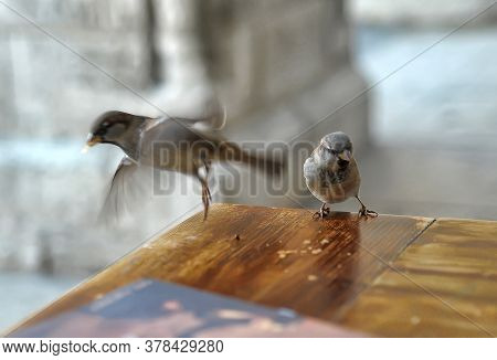 Sparrows On The Table Eat Crumbs, Fly
