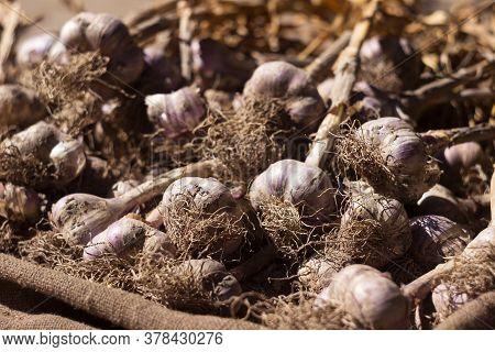 Many Heads Of Dug Garlic Lie On Burlap, Harvesting. Agriculture