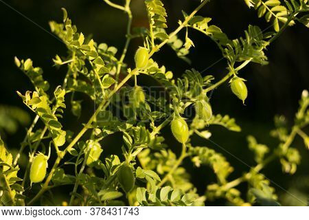 Green Chickpea Pods Grow In The Vegetable Garden, Beautiful Sunlight. Growing Legumes.
