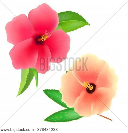 Sudan Rose Flower Isolated On White Background. Roselle Or Sabdariffa Hibiscus. Realistic Vector Ill