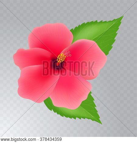 Hibiscus Flower With Leaves Isolated On Transparent Background. Realistic Vector Illustration.