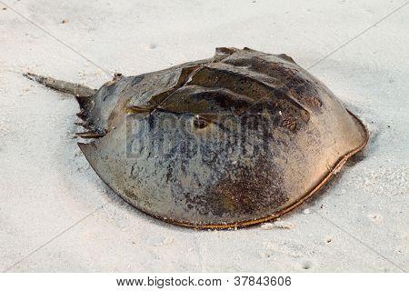 Horseshoe Crab Sitting On The Beach.