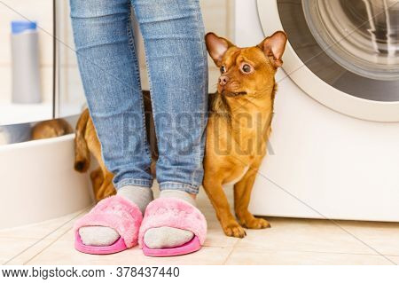 One Small Dog Hiding Behind Unrecognizable Female Legs. Puppy Being Shy. Animals Concept.