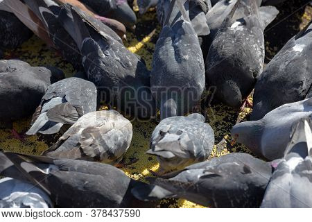 Many Pigeons On The Sidewalk Peck Millet