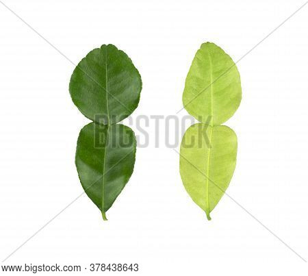 Green Kaffir Lime Leaves Plant Know As Makrut Vegetable Or Thai Lime Leaf And Citrus Fruit, Herbal P