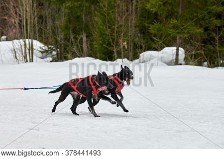 Running Pointer Dog On Sled Dog Racing. Winter Dog Sport Sled Team Competition. English Pointer Dog