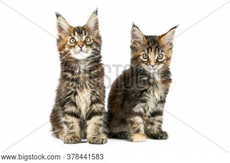 Two Maine Coon Kittens, Isolated. Cute Tortoiseshell Maine-coon Cats On White Background. Little Fun