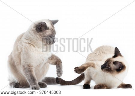Two Thai Cats Are Preparing To Attack Each Other During The Game