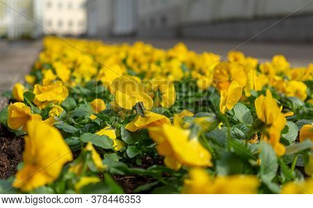 Yellow Violets On A City Flowerbed In Spring In Fine Weather.