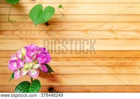 Pink Hydrangea On Background Of Wooden Fence. Hydrangea Macrophylla, Pink Hortensia Flower Bush Copy