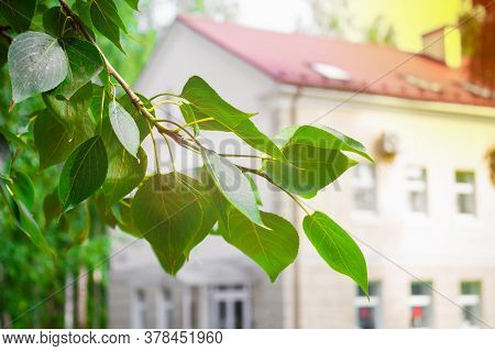 Tree Branch With Green Leaves On Background Of Blurred House, Sun Glare