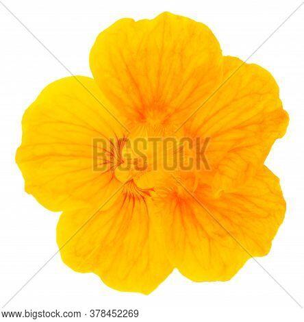 Beautiful Nasturtium Flower Isolated On White Background.