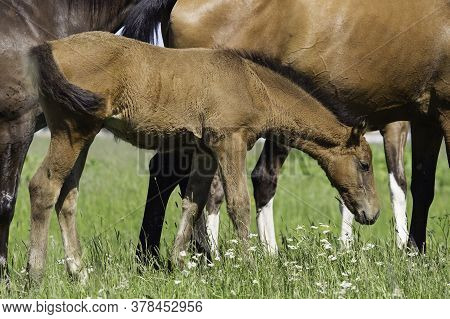 A Young Foal In The Herd Stands Next To The Mare