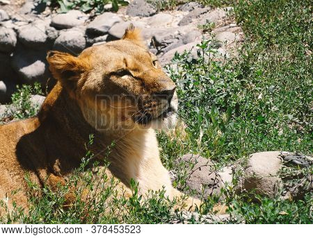 A Large And Terrible Predator Resting Quietly. Close-up Of An Adult Lion. A Ferocious Carnivore Of T