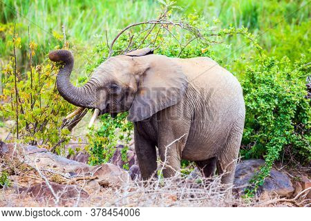 Huge African elephant grazes in the savannah among acacias. The Kruger Park. Sunset. Animals live and move freely in the savannah. South Africa. The concept of exotic and photo tourism