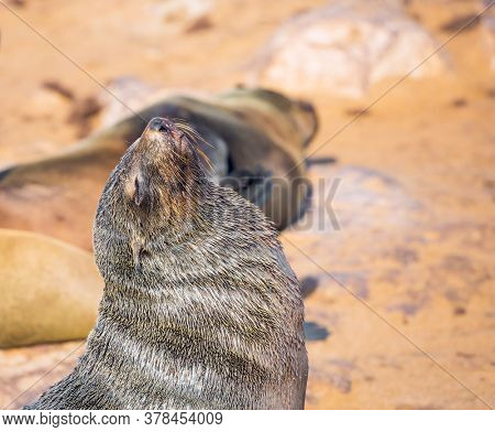 Large animals - eared seals bask in the sun. Africa. Namibia. Cape Cross is the largest South African fur seal rookery in the world. Sunny cold and windy day. Zoological tourism concept