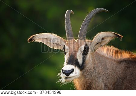 Portrait Roan Antelope With Green Background. Popular African Animal. Detail From Nature.