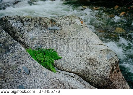 Green Fern Leaves On Big Stone In Mountain Creek Close-up. Scenic Nature Background With Fern Leaf O