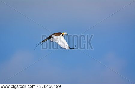 The Pheasant-tailed Jacana Have Elongated Toes And Nails That Enable Them To Walk On Floating Vegeta