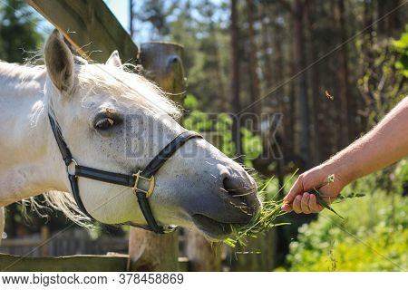 A Horse Eats From The Hands Of A Man, A Man Feeds Horses On A Farm On A Summer Day.