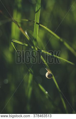 Small White Snail On Long Grass Leaf
