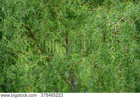 Curly Willow In The Bright Green Of Young Leaves With Budding Buds. Natural Background