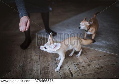 Pretty Fennec Fox Cub In Dark Room